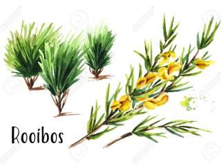 LEACURI DIN NATURĂ | Rooibos (Aspalathus linearis)
