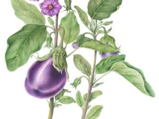 Leacuri din natură – VINETE (Solanum melongena)