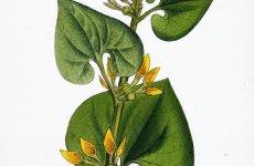 LEACURI DIN NATURĂ   Mărul lupului (Aristolochia clematitis)