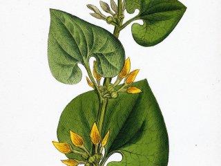 LEACURI DIN NATURĂ | Mărul lupului (Aristolochia clematitis)