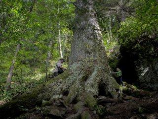 Cu ajutorul nostru, bradul multisecular din Gura Râului are șanse să fie desemnat Arborele European al Anului 2020!