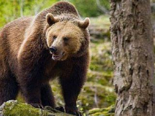 Bărbat atacat de urs la Arpașu de Sus
