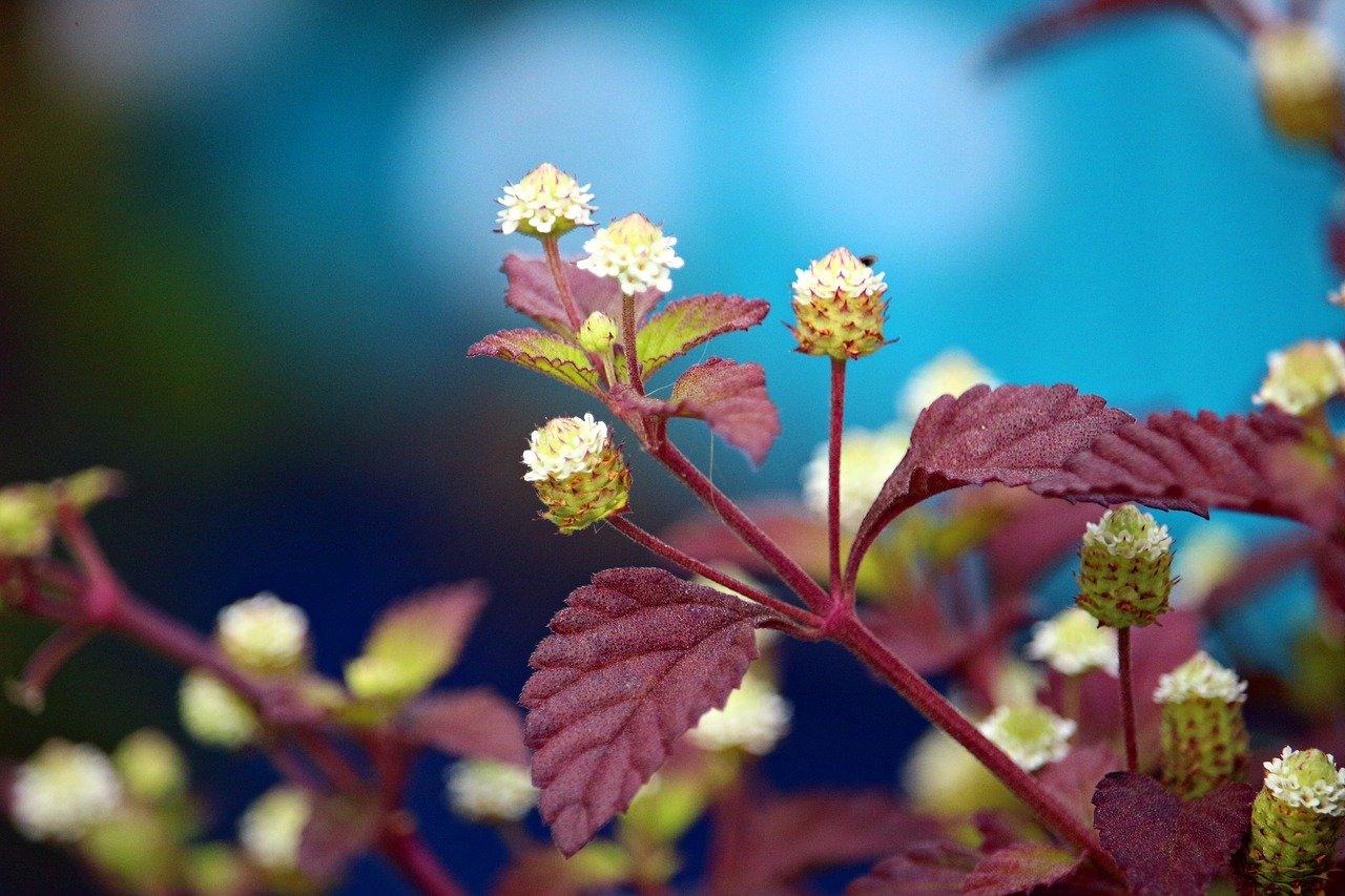 plant, sweet cabbage, aztec sweet herb-2545358.jpg