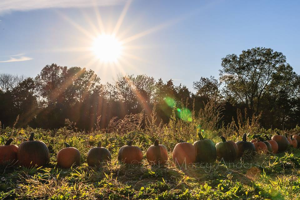 Pumpkins in a row at fall festival