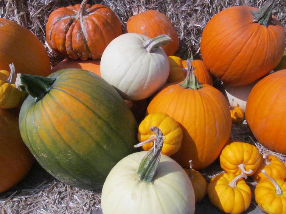 pumpkins galore at messicks farm market fall festival