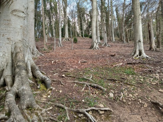 Beech trees in a grove
