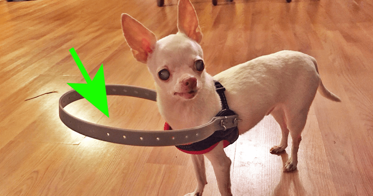 This Poor Dog Went Blind And Kept Walking Into Things So His Human Invented THIS