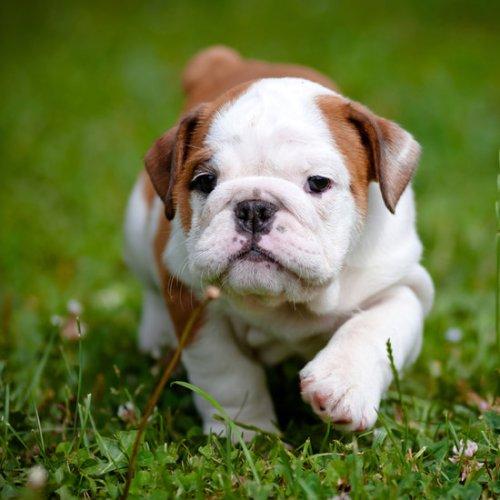 bulldog7