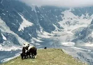 Yaks in South Tyrol