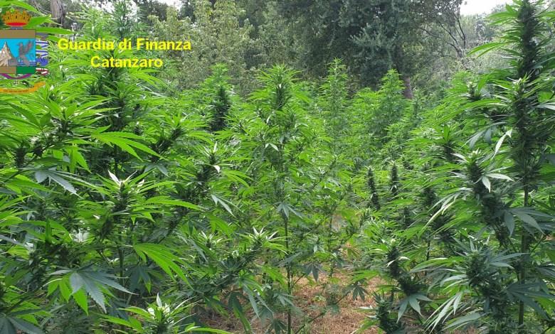 Photo of Guardia di Finanza sottrae 3mila piante di marijuana al traffico illecito