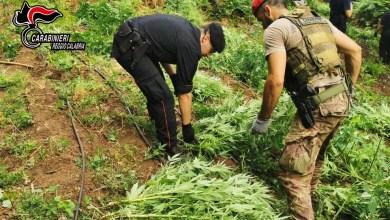 Photo of Realizzano una piantagione tra i boschi della Limina: 1.229 piante sequestrate