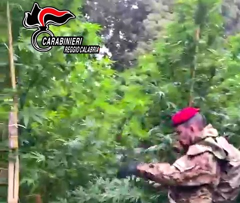 Photo of Mammola: distrutta piantagione di cannabis composta da circa 800 piante