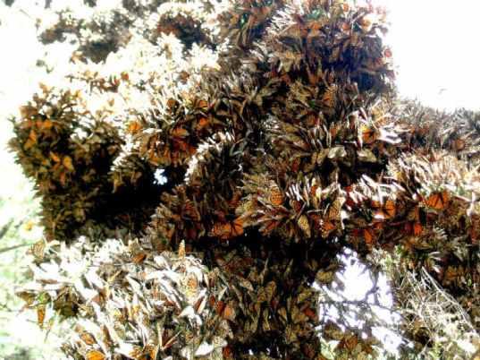 adultos-mariposa-monarca