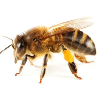 especimen-de-abeja-africanizada