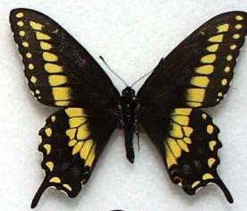 familias-nymphalidae-pieridae-papilionidae