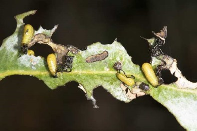 danio-larva-de-gonipterus