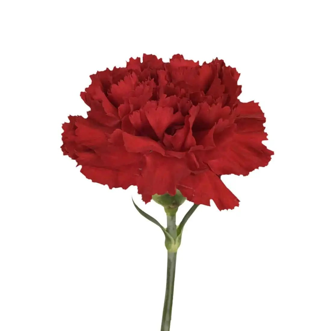 carnation red select best