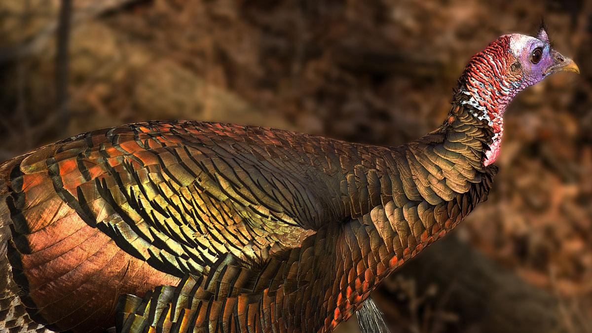 turkeys at blendon woods