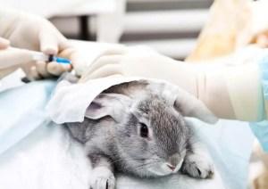 očkování králíků