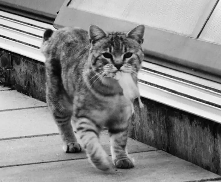 Jak velký může kočička dostat