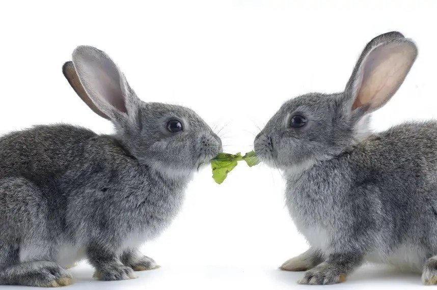 kastrace králíka