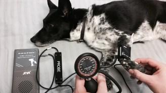 Krevní tlak u psa