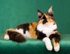 tříbarevná kočka