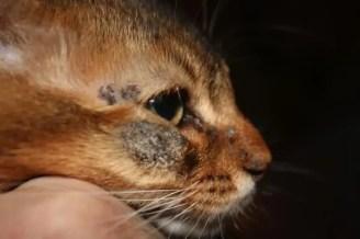dermatofytóza koček