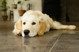 štítná žláza u psa