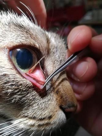 osina v oku kočky