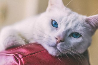 horečka u kočky