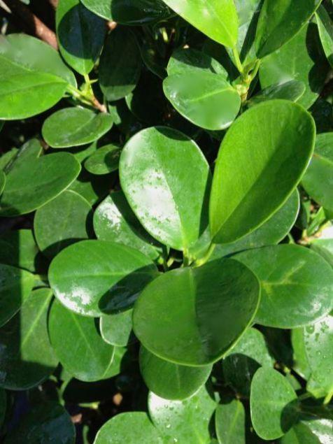 Ficus Daniella Detail