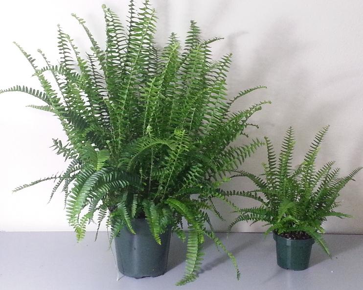 how to care for a fern metropolitan wholesale. Black Bedroom Furniture Sets. Home Design Ideas