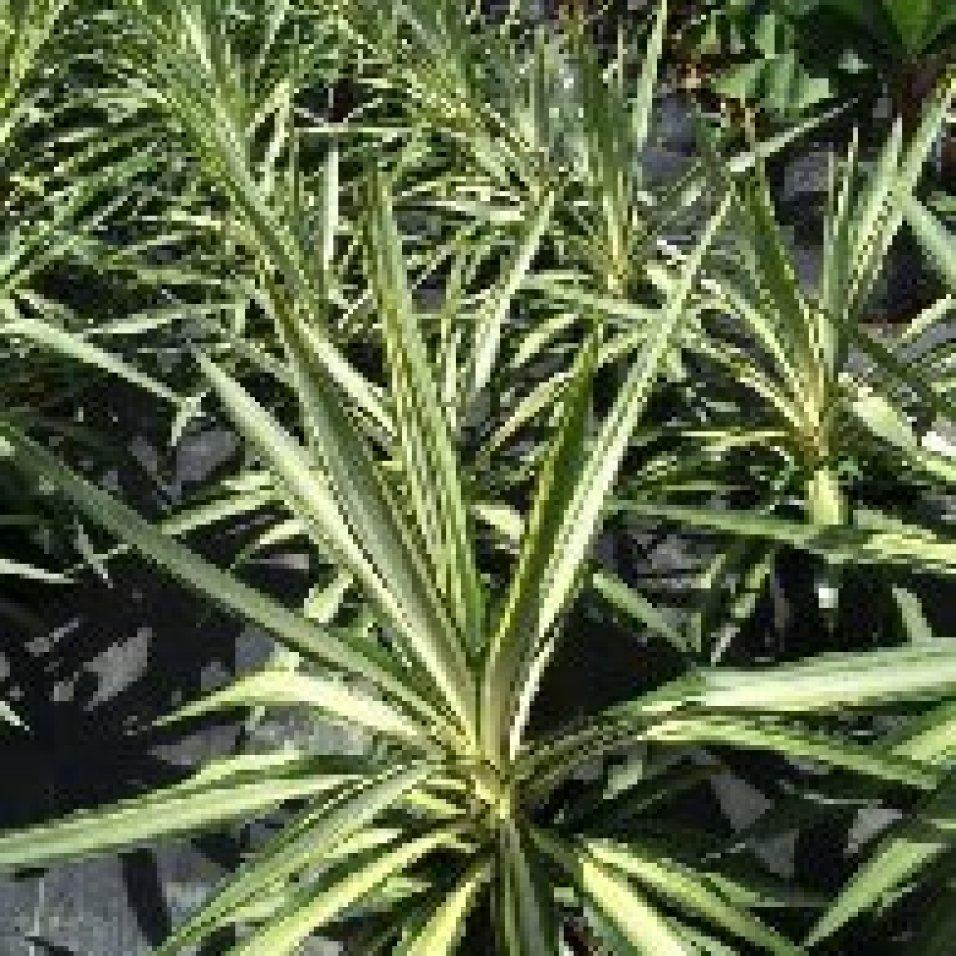Yucca Jewel