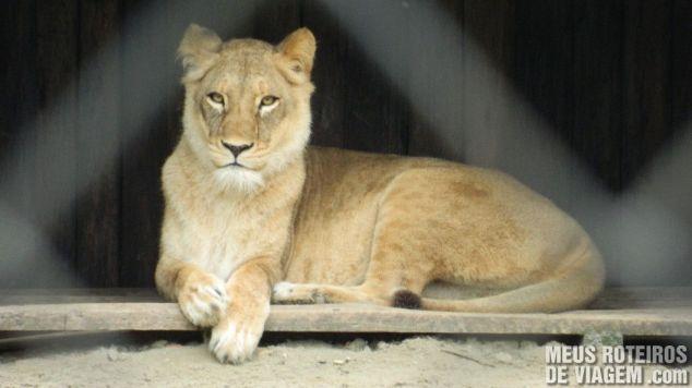 Leão no Zôo da Santur - Balneário Camboriú