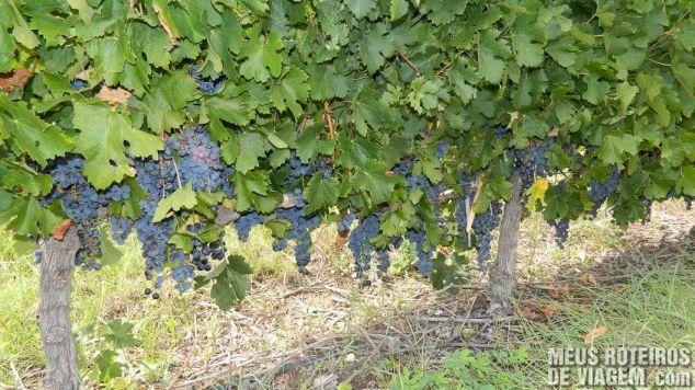 Uvas na Salentein - Mendoza, Argentina