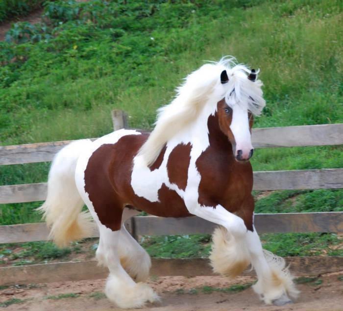 صور حصان جميل باللون الأبيض والأسود خيول أصيلة ميكساتك