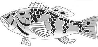 Yellowtail description and illustration from The Baja Catch