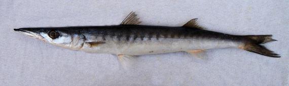 Cortez Barracuda