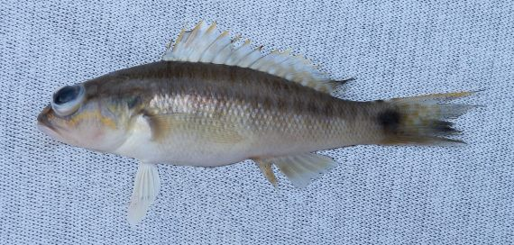 Mexican Sand Perch