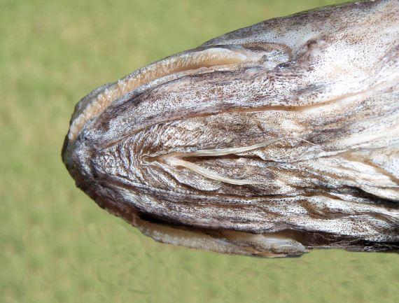 Specklefin Cusk Eel