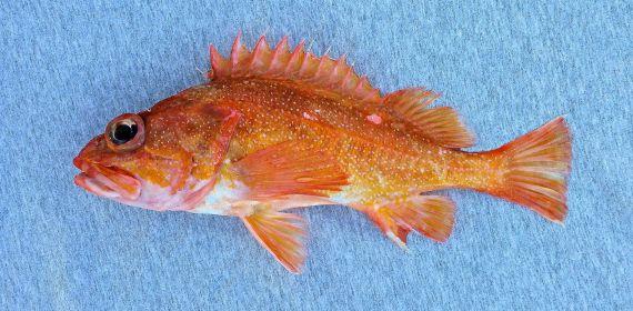Starry Rockfish (1)