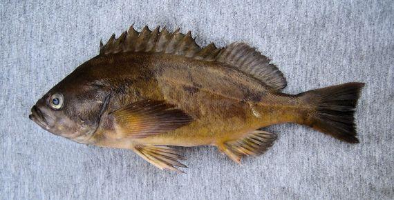 Squarespot Rockfish (1)