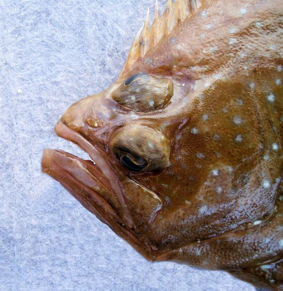 Foureye Flounder (2)