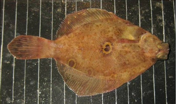 Ocellated Turbot (1)