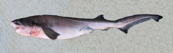Bluntnose Sixgill Shark (1)