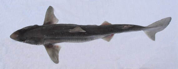 Pacific Spiny Dogfish (2)