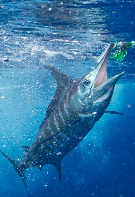 Striped Marlin (2)