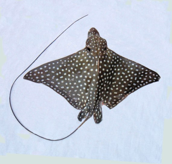 Spotted Eagle Ray (1)