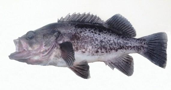 f501-black-rockfish-2